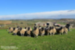 Derbyshire Gritstones tups sold 2018.JPG