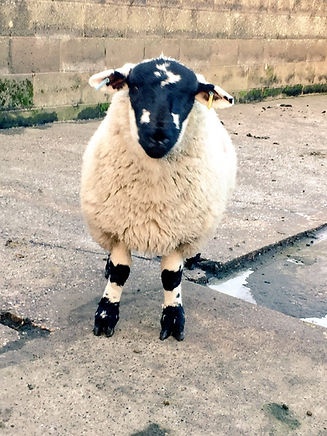 Best Ewe Lamb 17.jpg