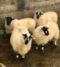 Derbyshire Gtitstone ewes for in-lamb sa