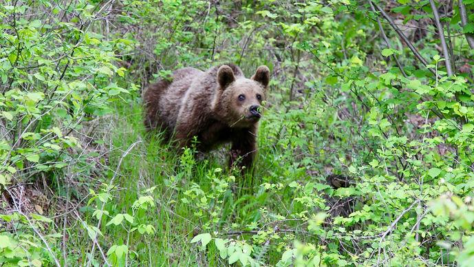 bear romania.jpg