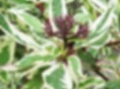 Cornus alba Elegantissima 2.jpg