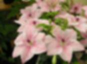 clematis-pink-fantasy1.jpg