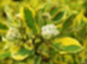 Cornus alba Spaethii 2.jpg