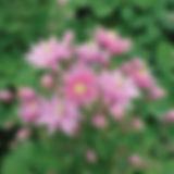 аквилегия роуз барлоу2.jpg
