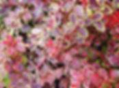 барбарис coronita11.jpg