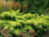 можжевельник пфитцериана ауреа.jpg