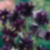 Аквилегия Блэк Барлоу-800x600.jpg