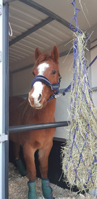 """"""" Lorsque j'ai souhaité acheter un quarter horse, j'ai découvert Holy Day Ranch, et la famille Pourras qui a été très accueillante et de bons conseils. Et il est vrai que nous sommes venus souvent afin de choisir la """"bonne""""! Mais l'achat d'un cheval est un choix qui vous engage tellement... J'y ai donc trouvé il y a un an Mademoiselle, une jument de 3 ans, bien dans sa tête, qui était exactement pareil à la maison qu'à l'élevage. Pas de mauvaise surprise, une vente des plus transparentes comme on aimerait qu'elles se passent toutes dans le milieu équestre ! """" Carole Zanetti"""