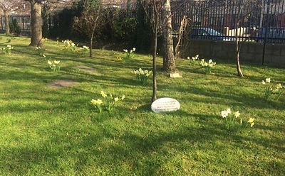 Spring Daffodils 2.JPG