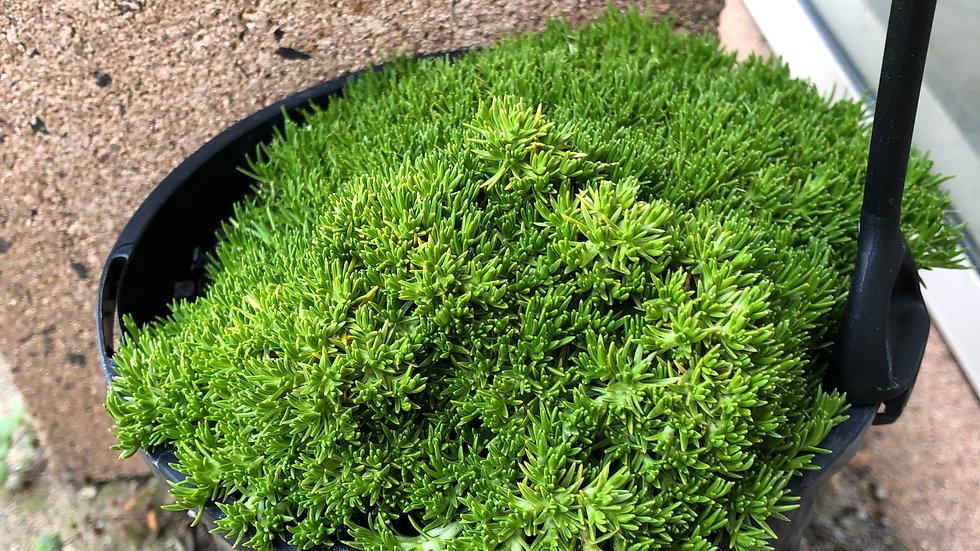Scleranthus biflorus 140mm