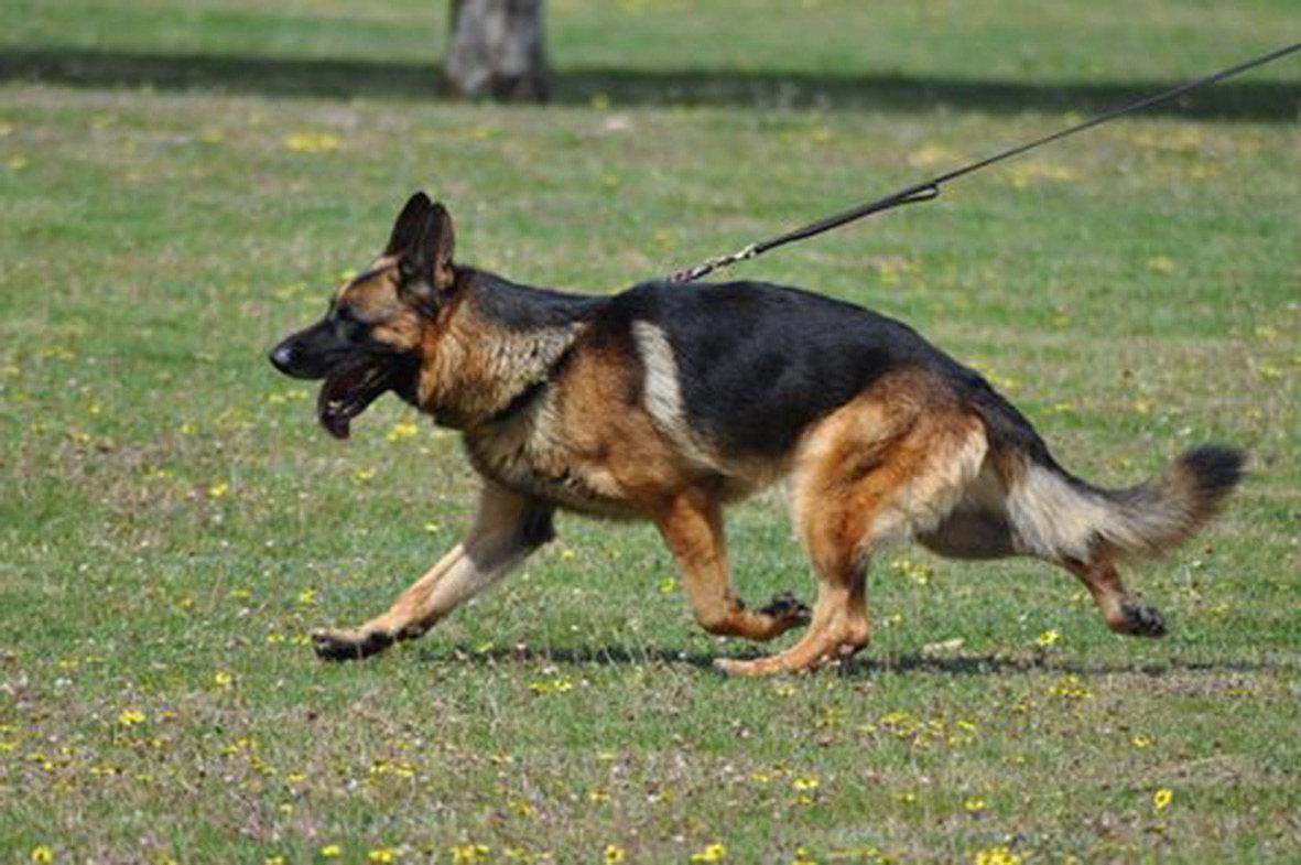 German shepherd breeder victoria