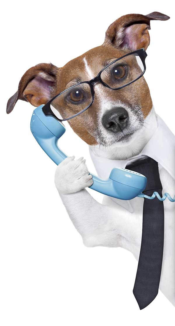 Jack-Russell-Terrier-Holding-a-blue-phon