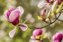 magnolia-4839468_1920.jpg
