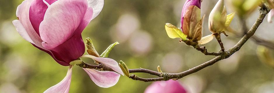 magnolia-4839468_1920_edited.jpg
