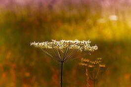 cow-parsley-3999570_1920.jpg