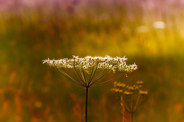 cow-parsley-3999570_1920.jpg