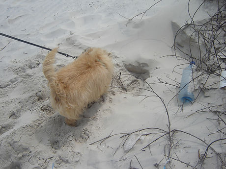 Ridley detecting a sea turtle nest