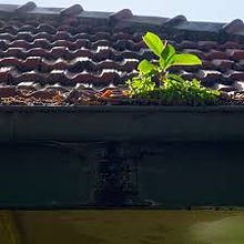 Overgrown gutters