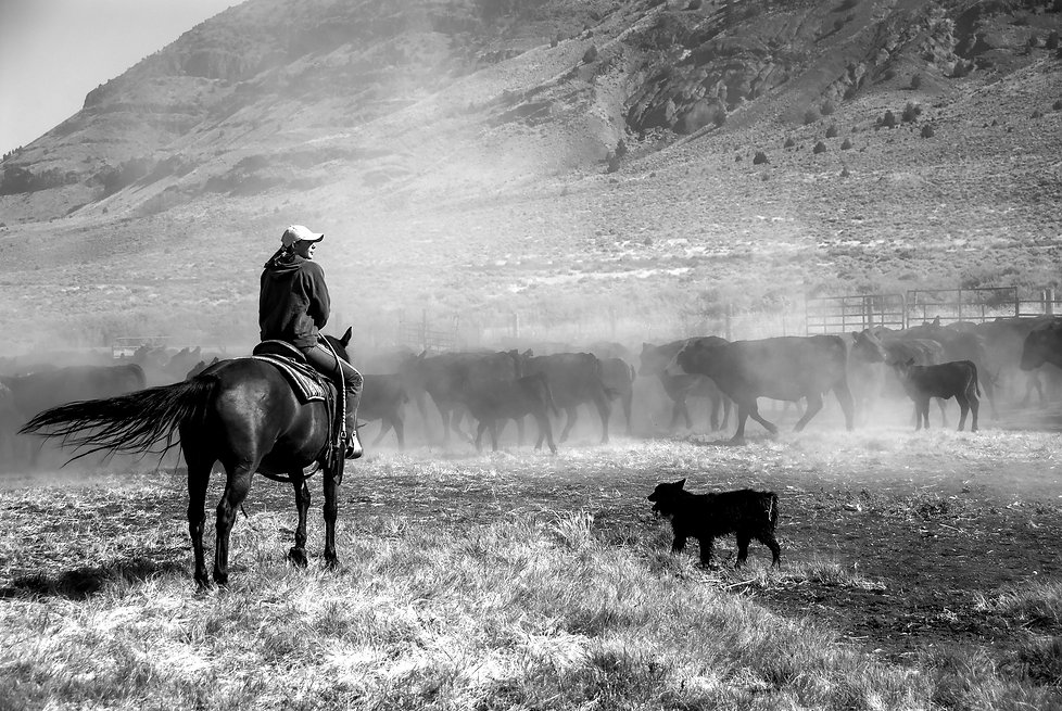 woman on horse with baby calf at a CATTLE ROUNDUP in OREGON