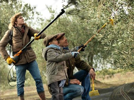 オリーブの収穫時期になりました