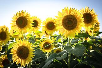 yellow%20sunflowers%20in%20bloom_edited.