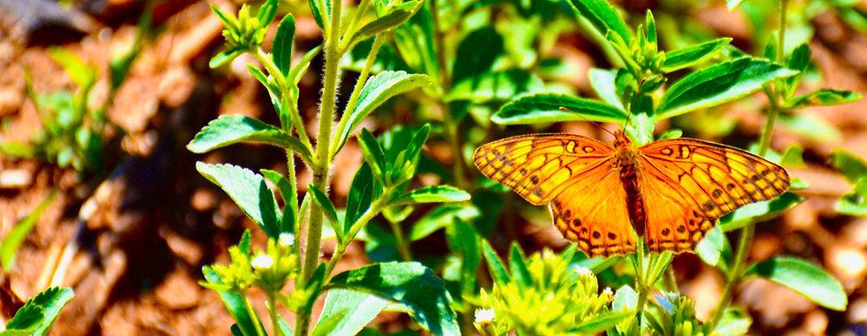 Schmetterling,Stevia.jpg
