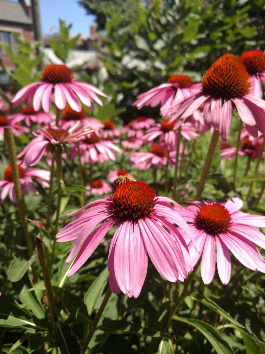 Purple Coneflowers add beauty to the native plant garden!