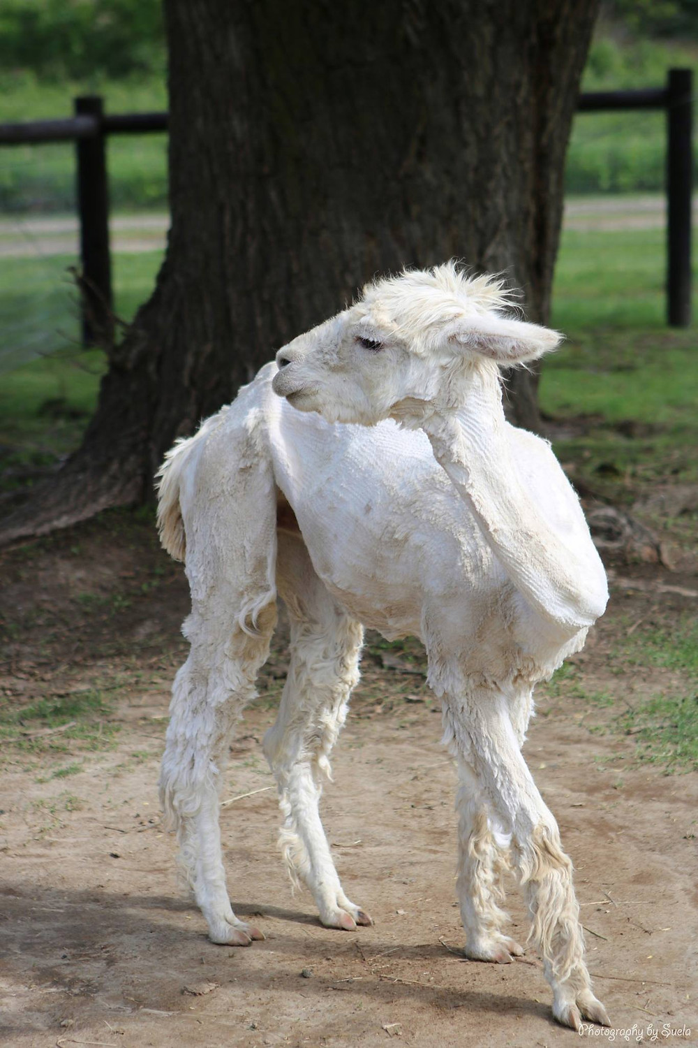 An Alpaca pictured after being shorn