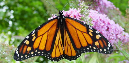 Monarch Butterfly on a flower; Source: Wikimedia Commons