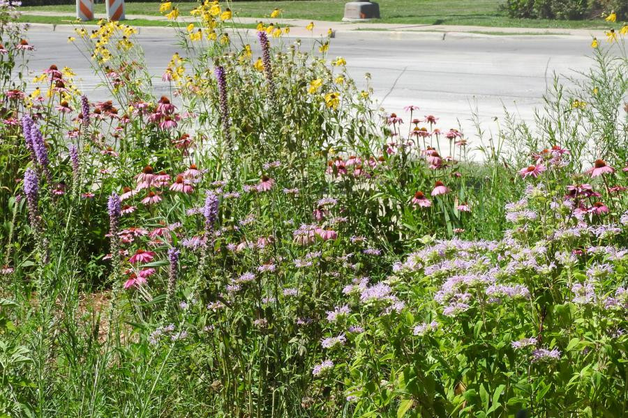 The native plant garden is in full bloom!