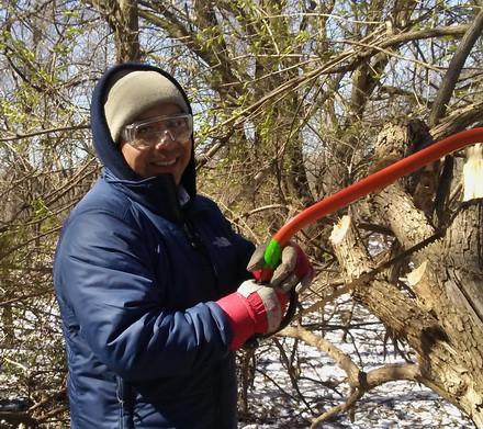 A volunteer cuts down invasive buckthorn trees.