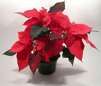 poinsettia1_smaller.jpg