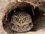 burrowing-owl-1-of-1.jpg