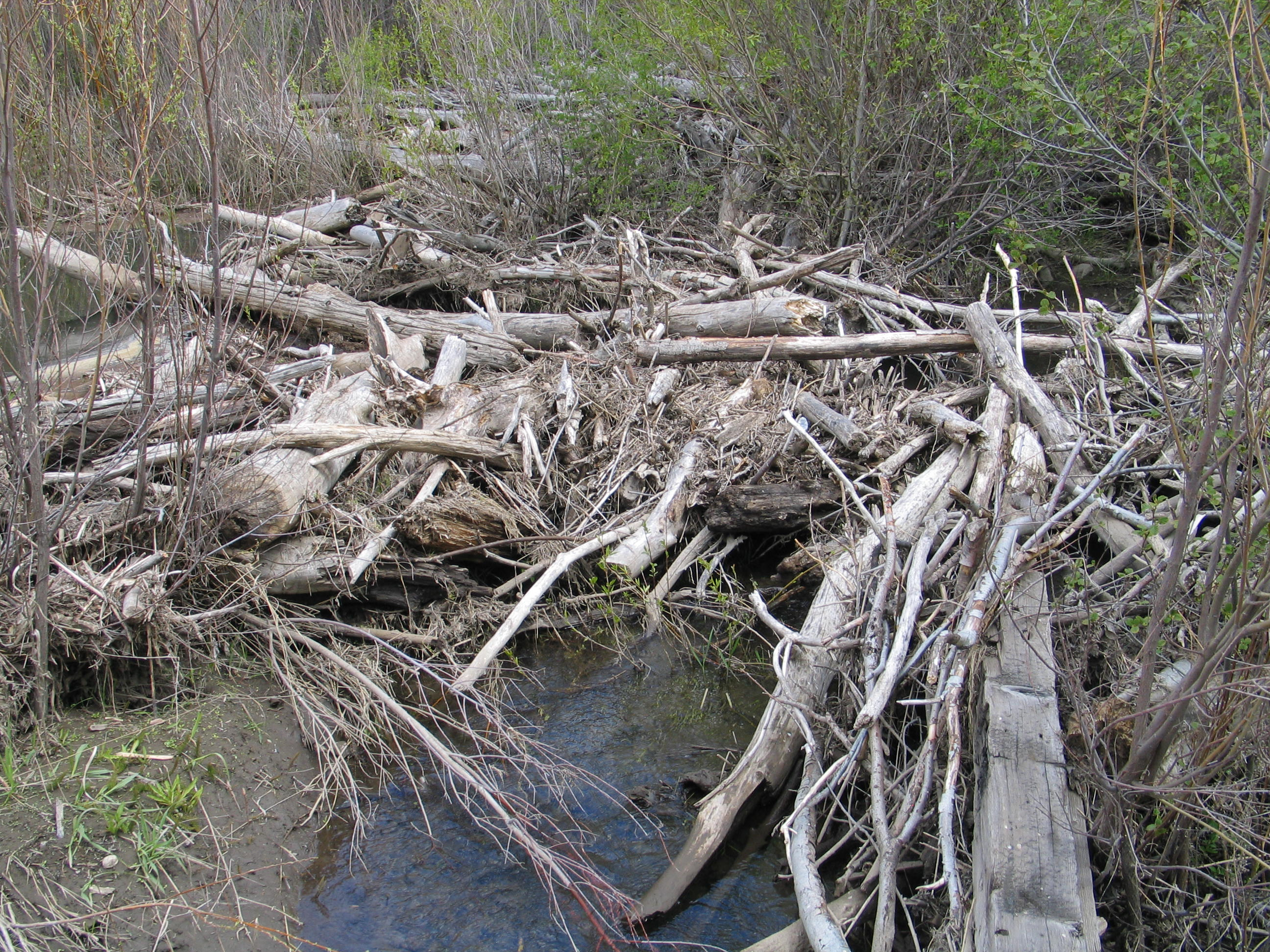 Umtanum Creek beaver dam 05-07-11 Raines 7673