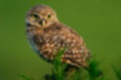 Burrowing Owl Shrub-Steppe Yakima Canyon Interpretive Center KEEN