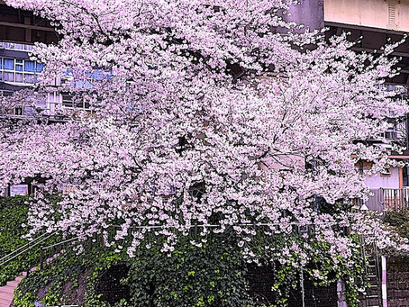 桜にはシュワッとSPUMANTE!サンマリノワイン『桜まつり』を開催します