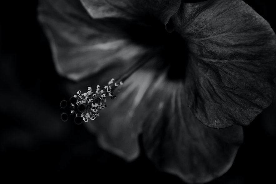 grayscale%2520photo%2520of%2520hibiscus%