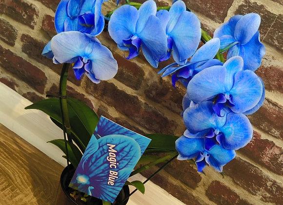 Blue Orchid Plant