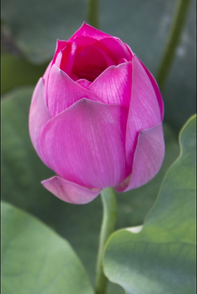 Donation Only -Tier Lotus Blossom