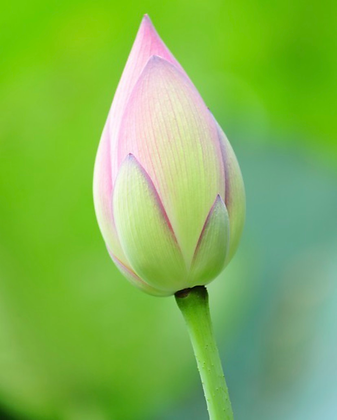 Donation Only- Tier Lotus Bud