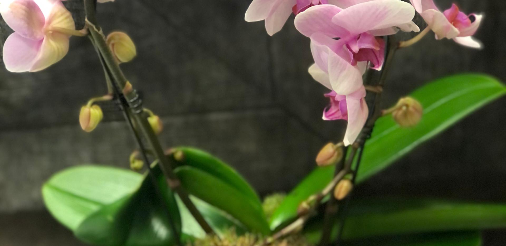 Orchidea ad arco