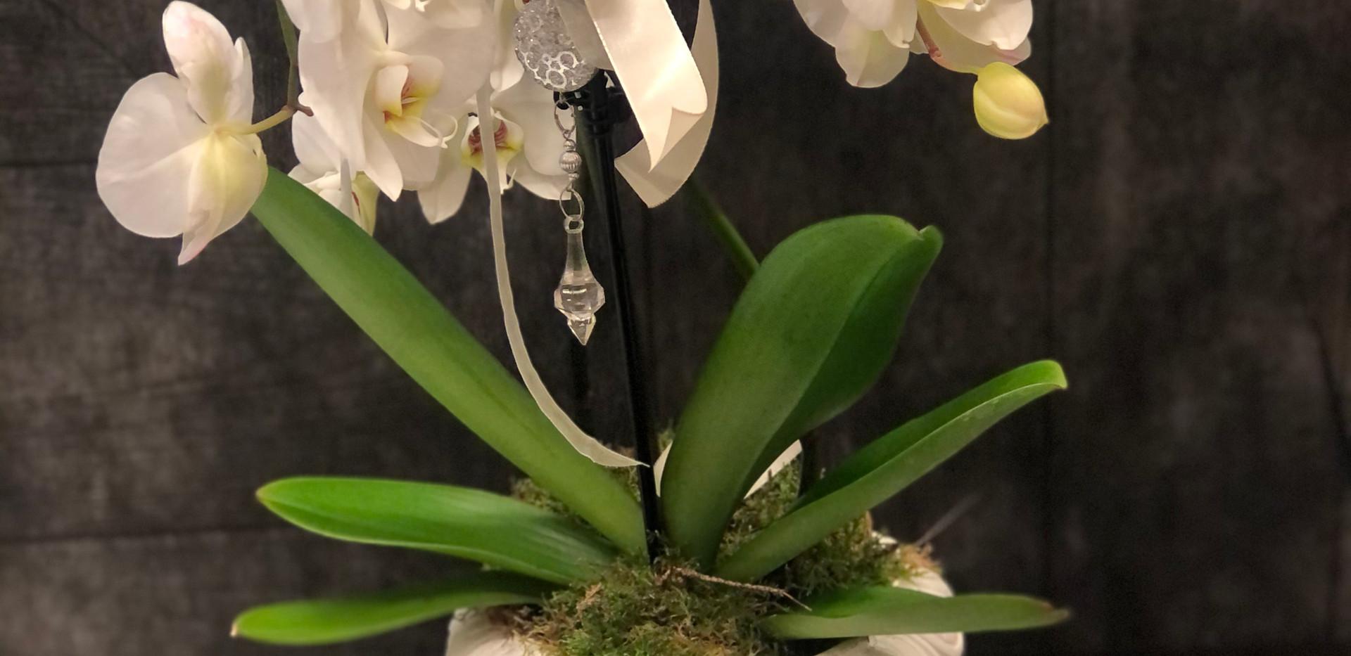 Orchidea ad ombrello