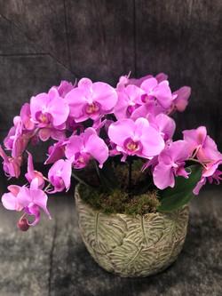 Orchidea wild