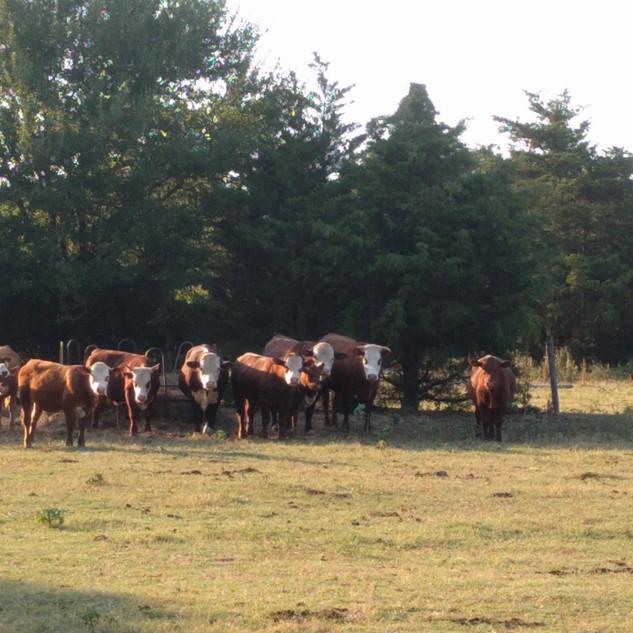 group cattle.jpg