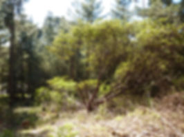 pallid manzanita, endangered California plant
