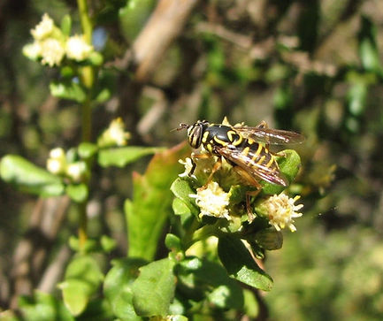 Syrphid Fly on Coyote Brush