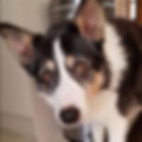 Molly - Border Collie - Customer's  Testimonial - Fe's FURnomenal Pet Services | Wirral
