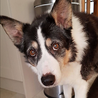 Molly - Border Collie - Customer's  Testimonial - Fe's FURnomenal Pet Services   Wirral