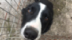 Meet & Greet - Border Collie - Aaron - West Kirby - Fe's FURnomenal Pet Service |Wirral