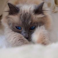 Holly - Blue Point Birman Cat - Customer's Testimonial - Fe's FURnomenal Pet Services - Wirral.JPG